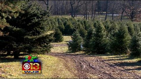 cut your own xmas trees maryland best places to cut your own tree in the baltimore area 171 cbs baltimore