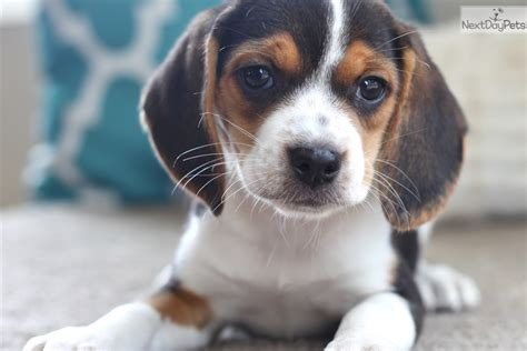 beagle puppies for sale near me beagle puppy for sale near southeast missouri missouri fe85f394 3131