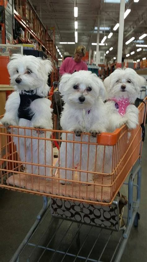 half shih tzu and half bichon frise dogs breed teddy half shih tzu and half bichon frise mix breeds picture