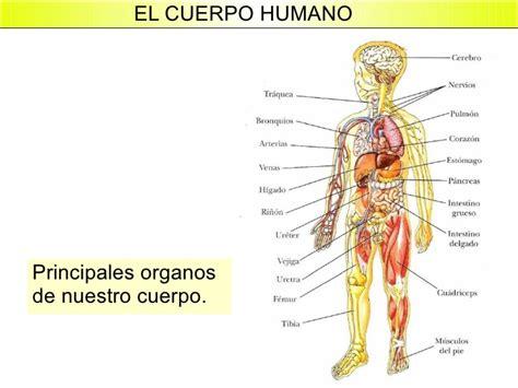 Imagenes Reales De Organos Del Cuerpo Humano | el cuerpo humano