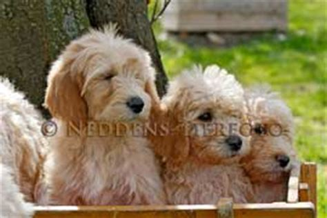 mini doodle hunderasse labradoodle goldendoodle dogs of golden kennel