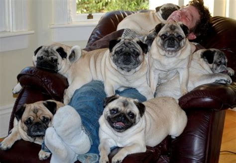 pug family the pug family photo bits and pieces