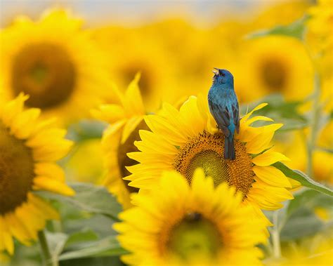 indigo bunting on sunflower photograph by jack nevitt