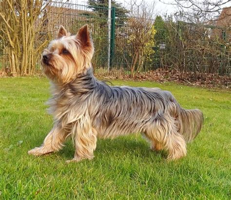 origin of yorkies a brief history of the terrier