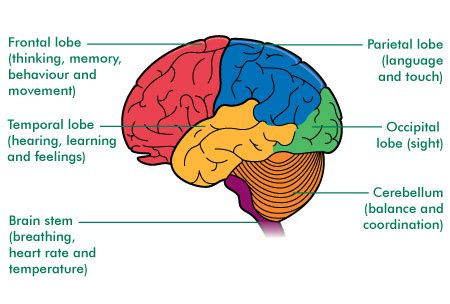 diagram of brain lobes the brain structure and function cancer information