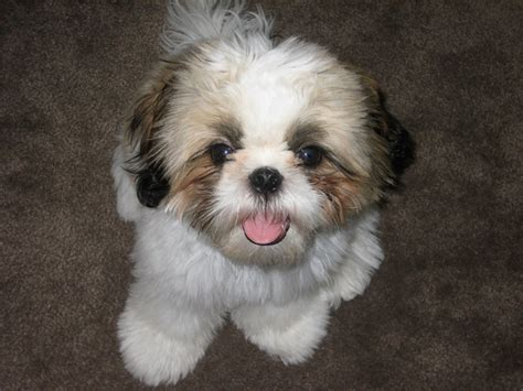 types of shih tzu breeds small breeds puppies