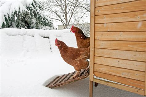 do chickens need a heat l do chickens need heat in winter backyard poultry