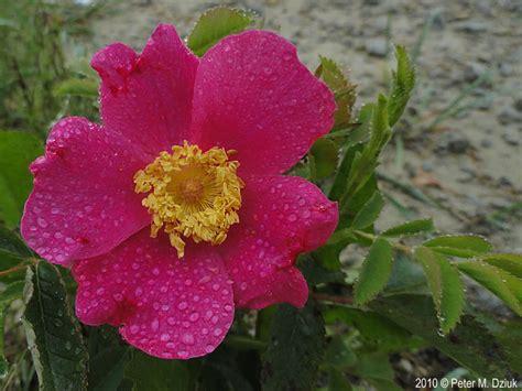 wild prairie rose rosa arkansana rosa arkansana prairie rose minnesota wildflowers