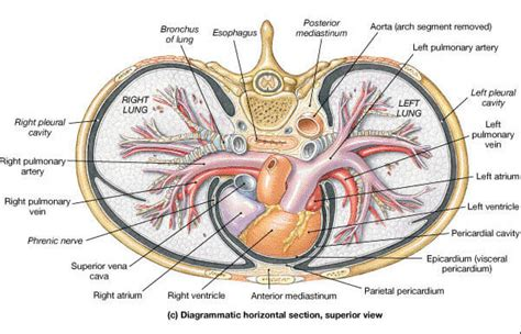 transverse section through thorax where is the heart located boundaries and surface anatomy