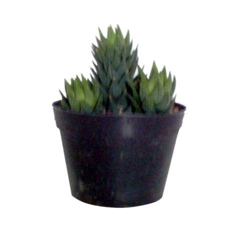 Jual Bibit Cabe Jawa Murah jual bibit tanaman murah cactus 05 pulau jawa