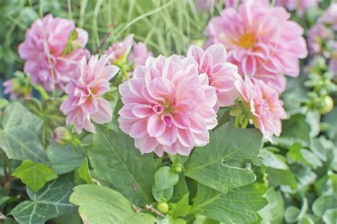 can dahlias be grown as perennials tips on growing