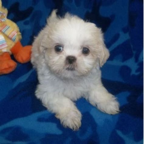 shih tzu oregon shih tzu puppies rescue oregon breeds picture