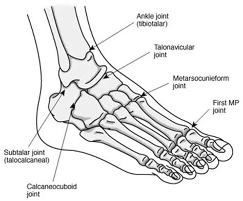 diagram of the foot bones brendalou s phalange that s what i m talking