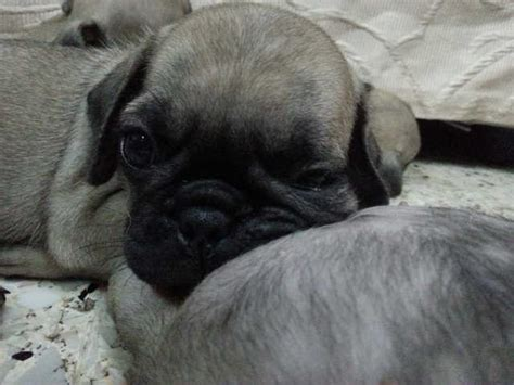 black pug puppies for adoption black pug puppies for adoption breeds picture