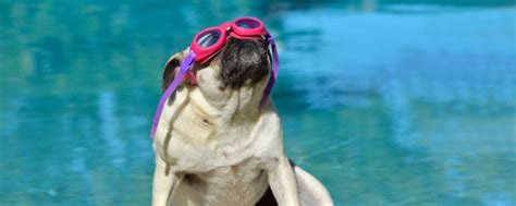 how to your pug how to keep your pug cool this summer edmonton pug club