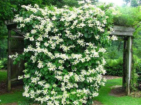 Fast Growing Climbing Plants For Fences - plantas trepadoras con flores para mejorar tu p 233 rgola