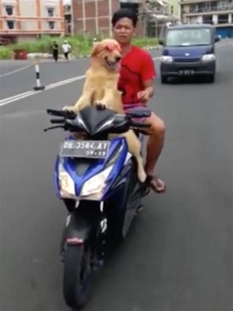 golden retriever driving seen a driving a motorcycle this golden