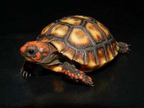 Peliharaan Anakan Kura Kura Baby Turtle jenis kura kura chery binatang peliharaan