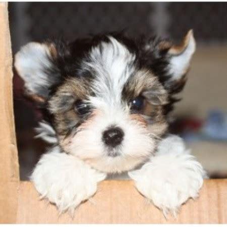 yorkie breeders in ca biewer s lodge terrier breeder in escondido california 92027