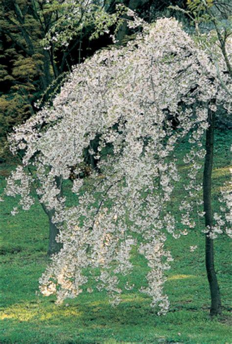 prunus da fiore giardini