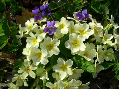 fiori primavera i fiori di primavera www dialessandria it