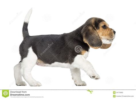 walking puppy side view of a beagle puppy walking pawing up isolated stock photography image