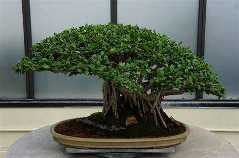 bonsai interno bonsai da interno le variet 224 pi 249 da tenere in casa