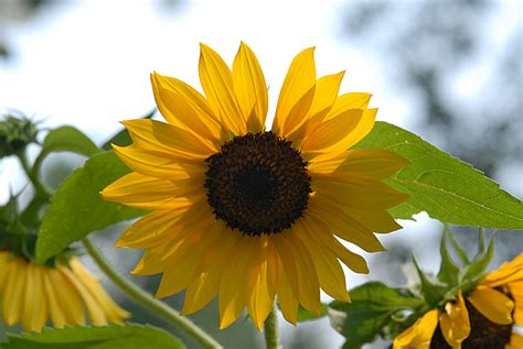 black oil sunflower bing images