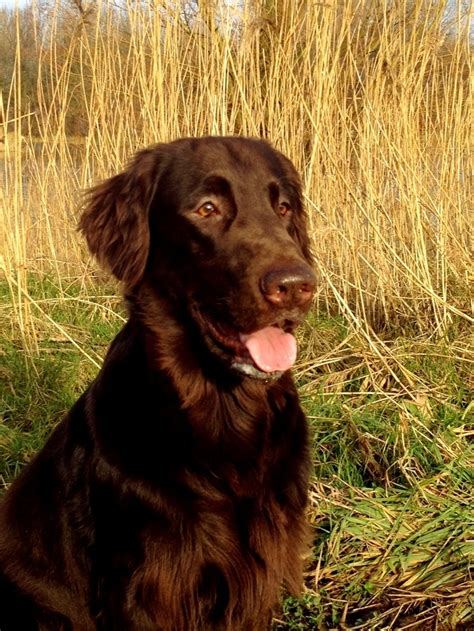 libro flat coated retriever training guide 82 best images about chessies flat coated curly c retrievers on