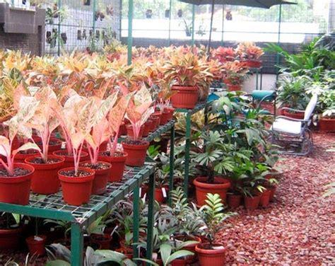 Sekam Bakar Untuk Anggrek dunia tanaman hias cara memperbanyak aglonema dengan