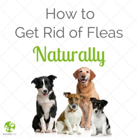 how to get rid of fleas in your bed how to get rid of fleas natural flea control