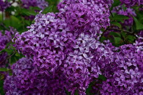 lilac in bloom by shaddowcat arts sherry
