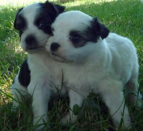 maltese pug pug and maltese muggese or malti pug pug mixed breeds