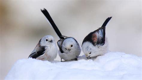 Lcute Set 3in1 Pigeons birds 21811 2560x1440 px hdwallsource