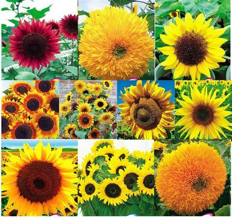 Benih Bunga Untuk Dijual jual benih bunga matahari import 10 jenis bali bibit