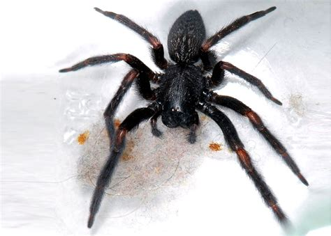 10 Most Dangerous Spiders In Australia Planet Deadly List