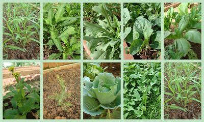 tang oh vegetables gardening inspire vegetable greens in the cg