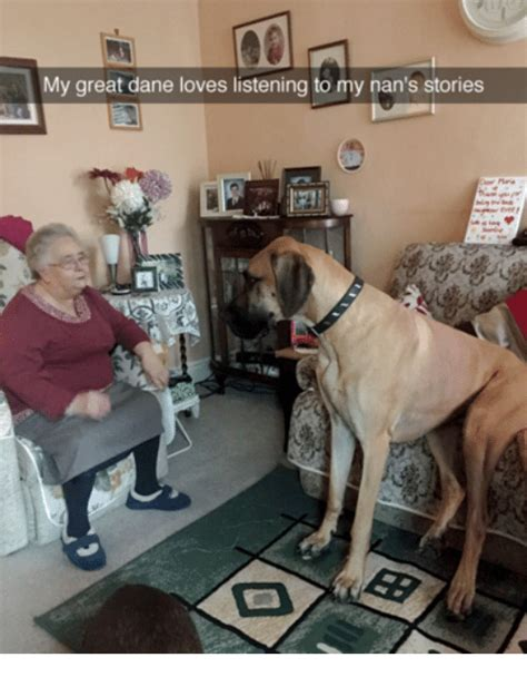 Great Dane Meme - 25 best memes about great dane great dane memes