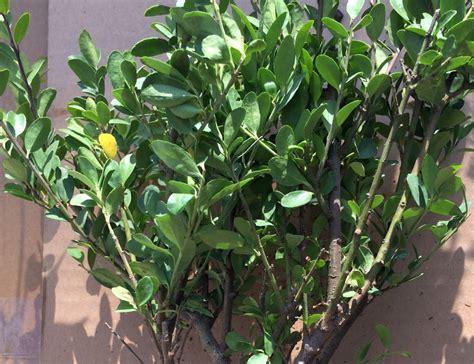 buchsbaum alternative buchsbaum ersatz die besten buchsbaum alternativen