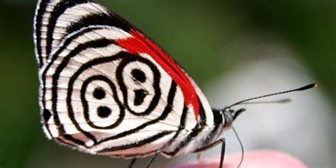 tigre y mariposa imagenes la curiosa mariposa 88