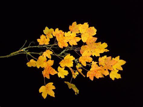 file maple leaf autumn jpg file leaf leaves branch maple autumn nightshot studio jpg