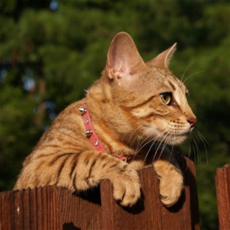 Do Bengal Cats Shed by Bengal Petstarter