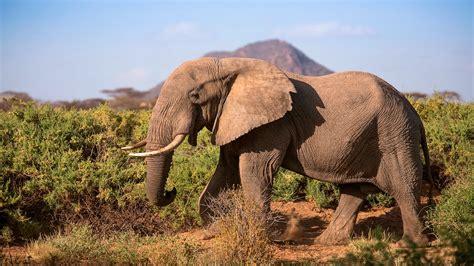 google images elephant protecting africa s elephants discover samburu with save