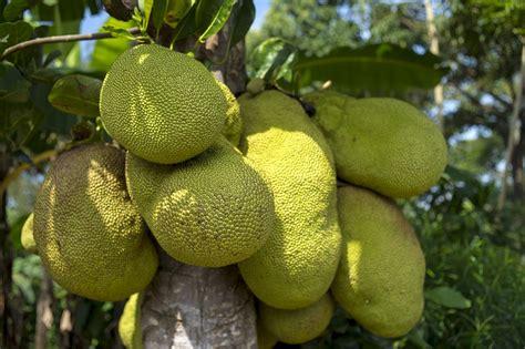 Imagenes De Jackfruit | jackfruit the new vegan alternative to meat for 2017