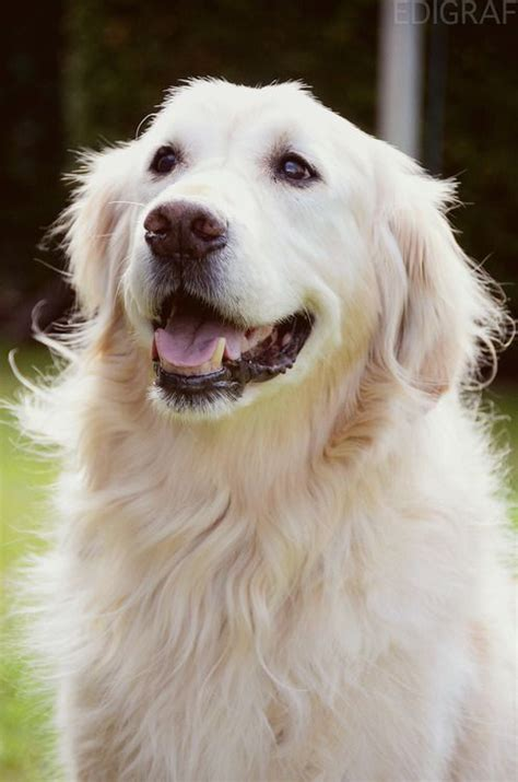 white golden retriever 25 best ideas about white golden retrievers on benadryl