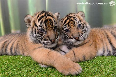 australia zoo tigers about the house giles clark