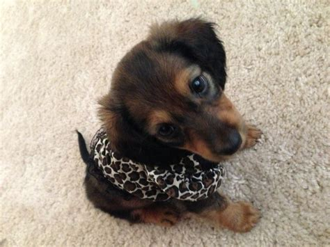 hair weenie 1707 best doxies images on