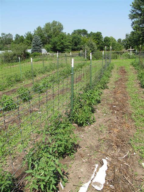 staking tomato plants ideas  pinterest tomato