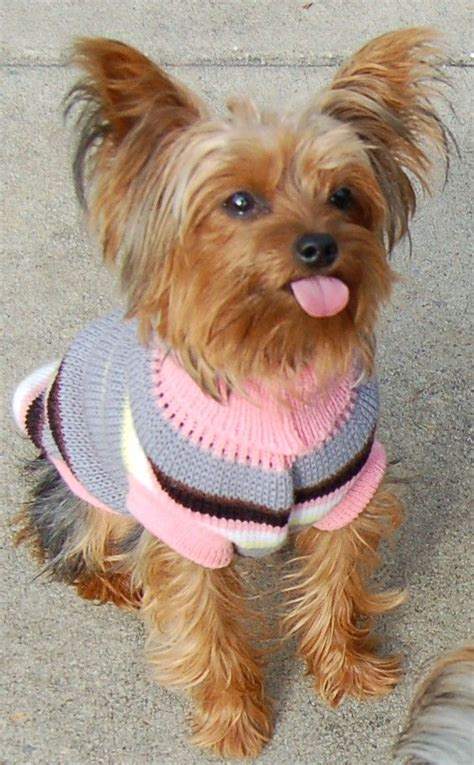 yorkie tongue sticking out 164 best images about yorkies all of york yorkshire terrier on