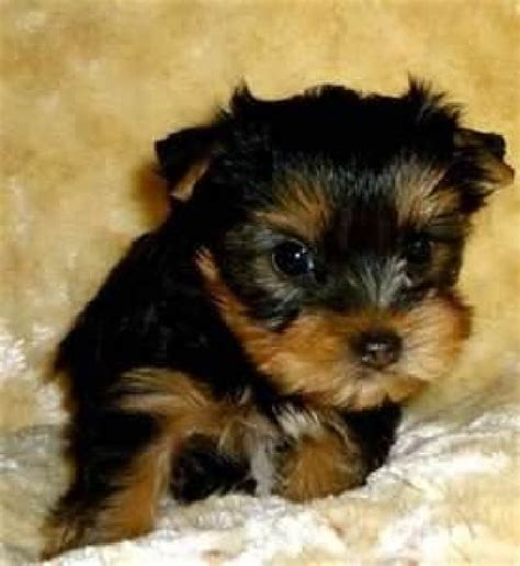are teacup yorkies hypoallergenic and teacup yorkie puppies for adoption offer